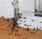 Ameisen im Haus bekämpfen