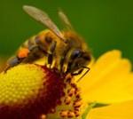 Hausmittel gegen Bienenstich
