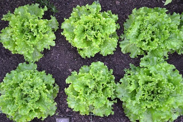 Bild Salatköpfe